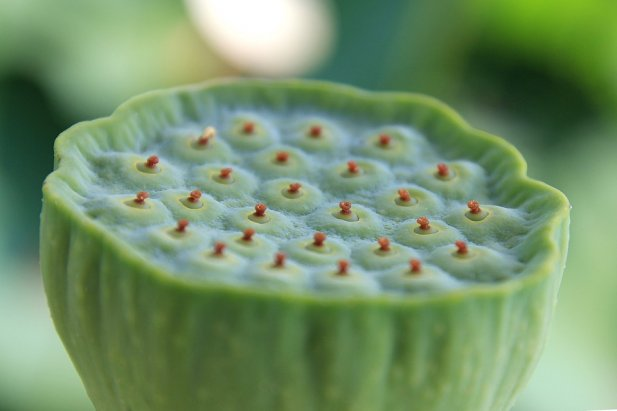 Have You Ever Eaten Lotus Fruit?